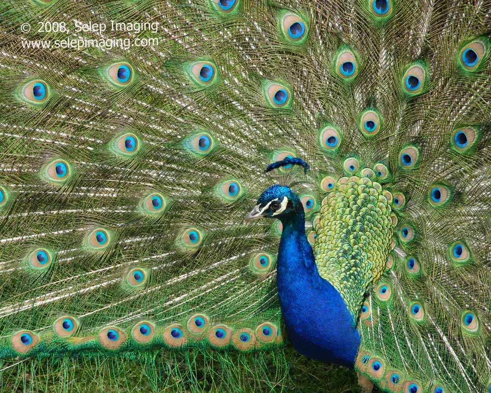 Male Peacock with tail by Jeanne Selep Imaging