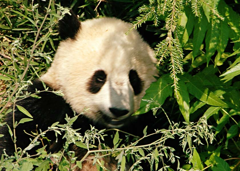 Panda Washington DC Zoo 2006