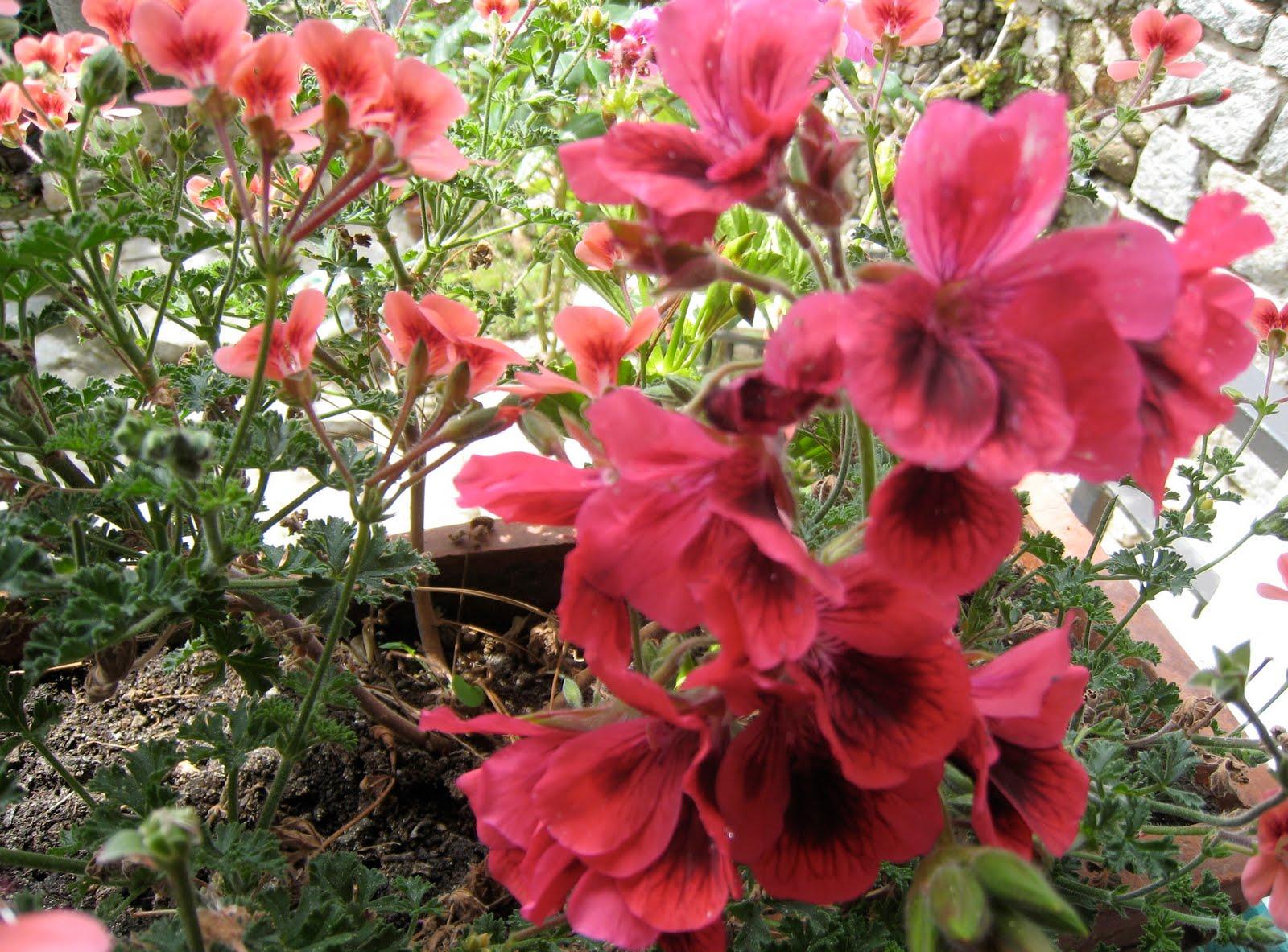 Fiori del mio giardino maggio 2010 for Fiori gerani
