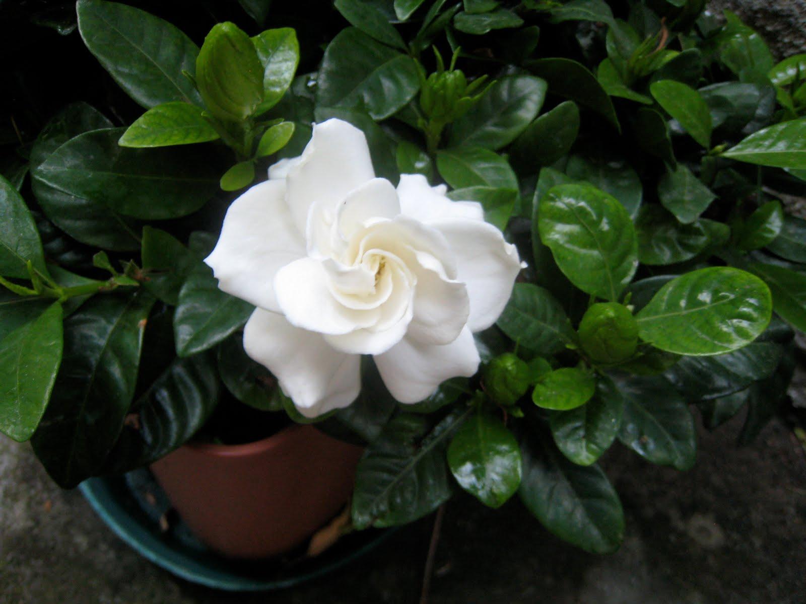 Fiori del mio giardino le mie gardenie - Gardenia pianta da giardino ...