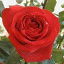 Crvena ruža download besplatne slike pozadine za mobitele