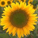 Suncokret download besplatne slike pozadine za mobitele