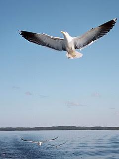 Galebovi lete download besplatne pozadine slike za mobitele