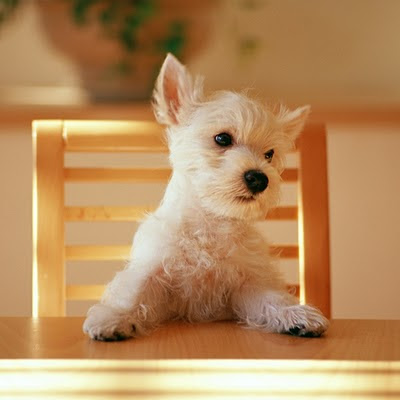 Little dog animals download free wallpapers for Apple iPad