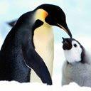Pingvini download besplatne slike pozadine za mobitele