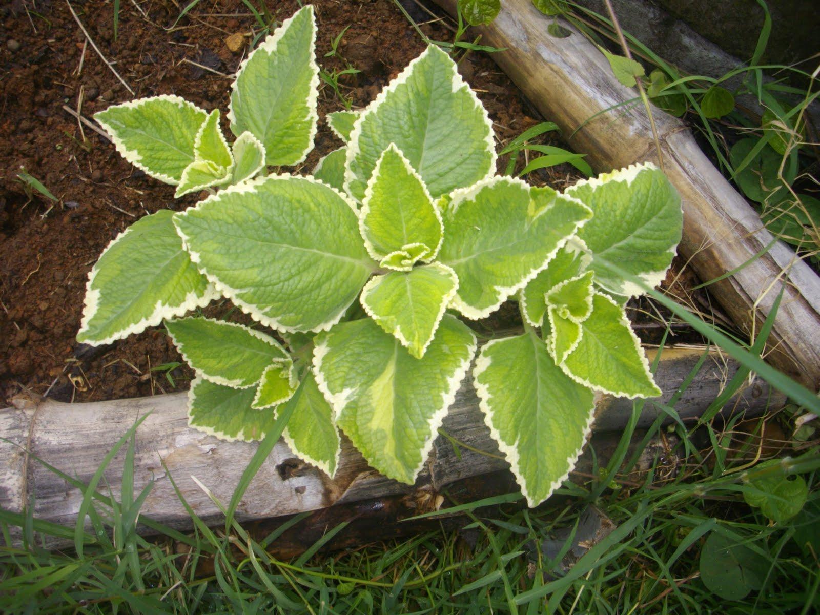 Le jardin creole les plantes medicinales for Jardin les plantes