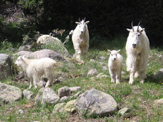 Three generations of mountain goats along the trail up to Chicago Basin