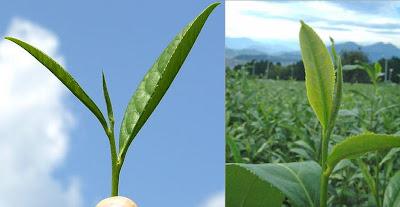 Camellia sinensis plant, Tea leaf