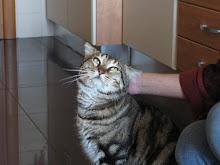 Gastão Grey Tabby - Adoptado pelo José e Família!!! (Março 2009)