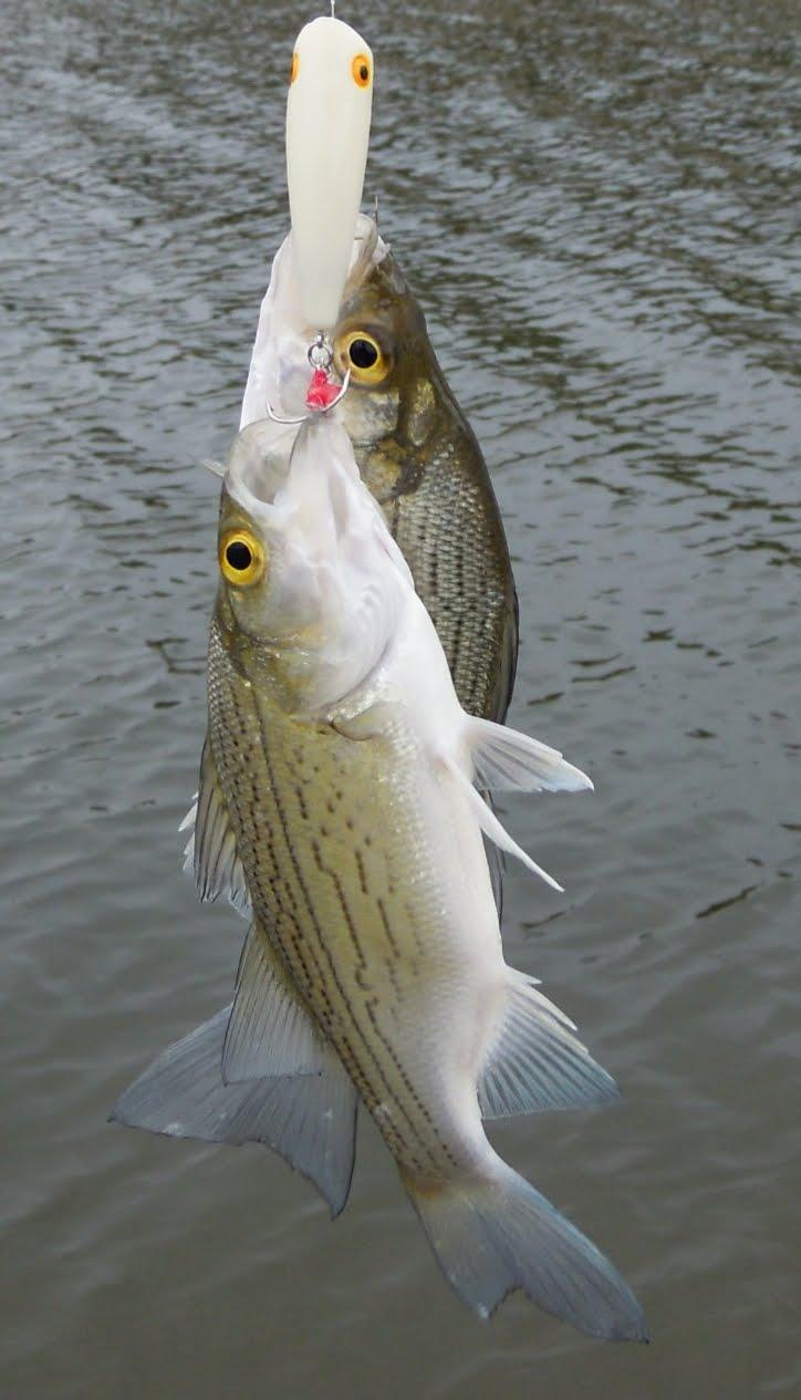 Fishndave september 2010 for White bass fishing lures