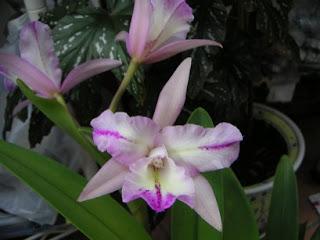 orchid cattleya Cattleya Orchid