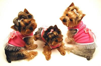 Yorkitas modelo de ropa canina! Paris+Noel%3B+Bella+LaRue%3B+Madeline+Monet+y+Lili+Patou+perritas+modalos+yorky+moda+canina+1