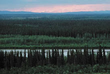 From here, in the boreal forests of Siberia...