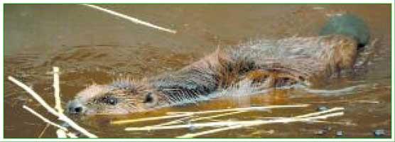 beaver in Navarra