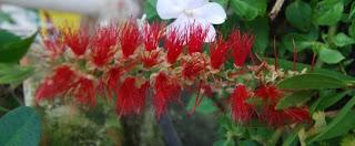 Sagada Flowers