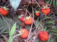 Sagada Wild Berry
