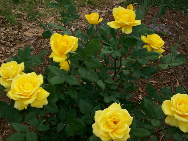 Henry Fonda Tea Rose