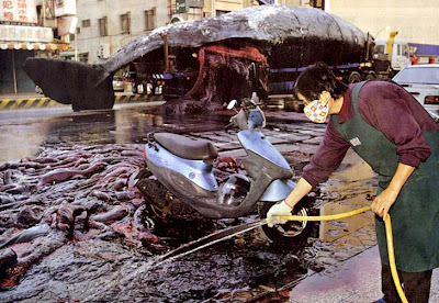 Bangkai Ikan Paus Tumpah Di Jalan Raya