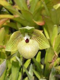 orhidea-12