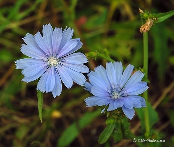 Natural Beauty Care: Chicory (Kasni)