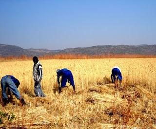 Foto COOPECUNHA Colheita de trigo