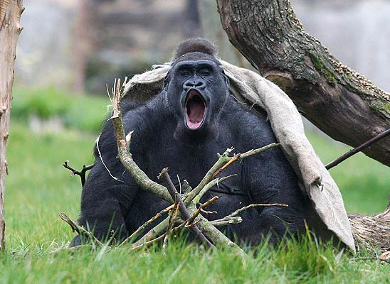 Gorila Zaire