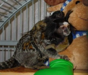 mini marmoset monkeys for $20 or less