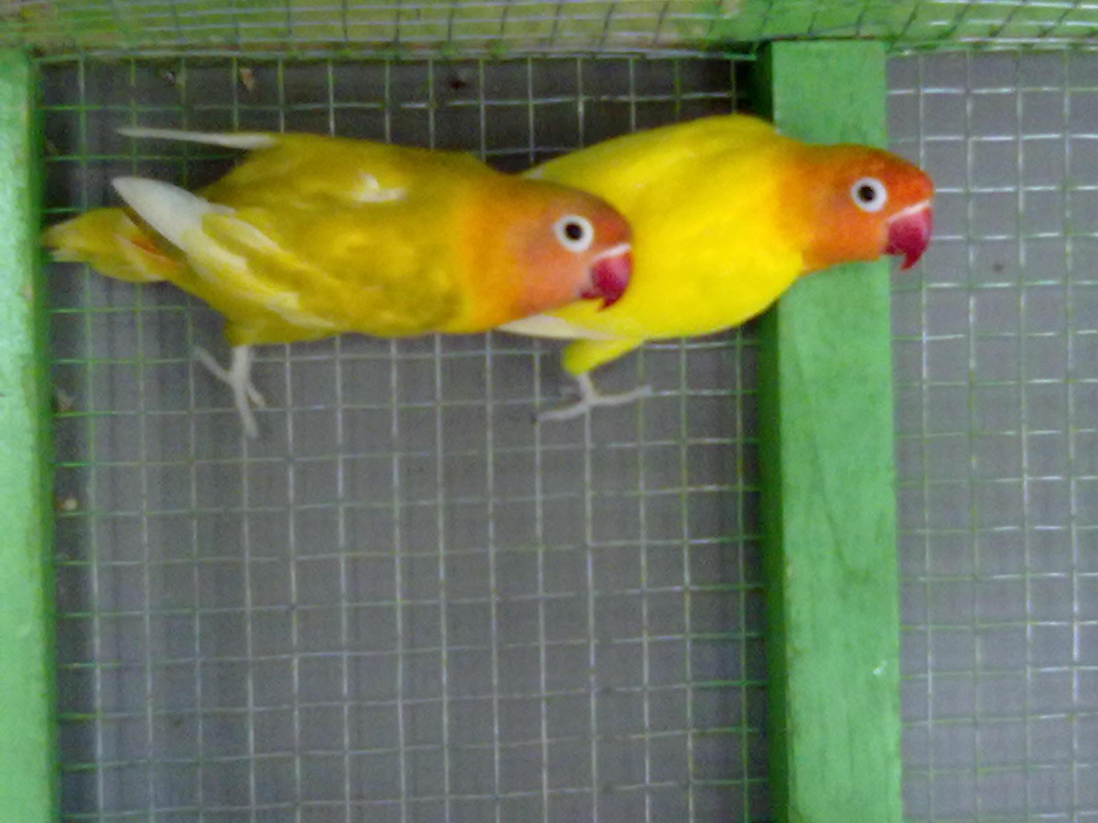 juragan love bird induk pastel dan lutino