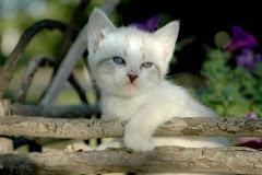 Edelweiss Katz
