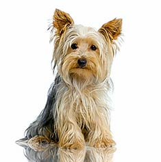 Yorkshire_Terrier_body.jpg
