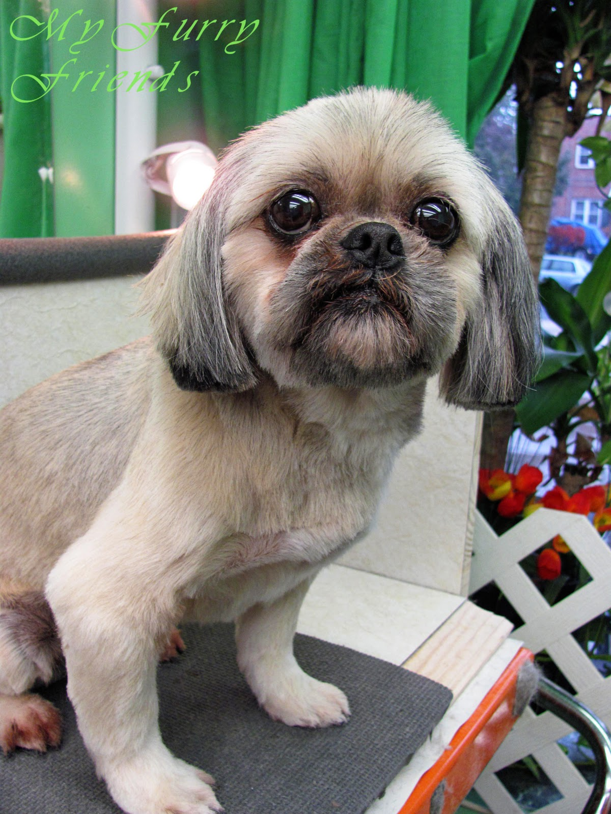 Pet Grooming The Good The Bad Amp The Furry Shih Tzu Day