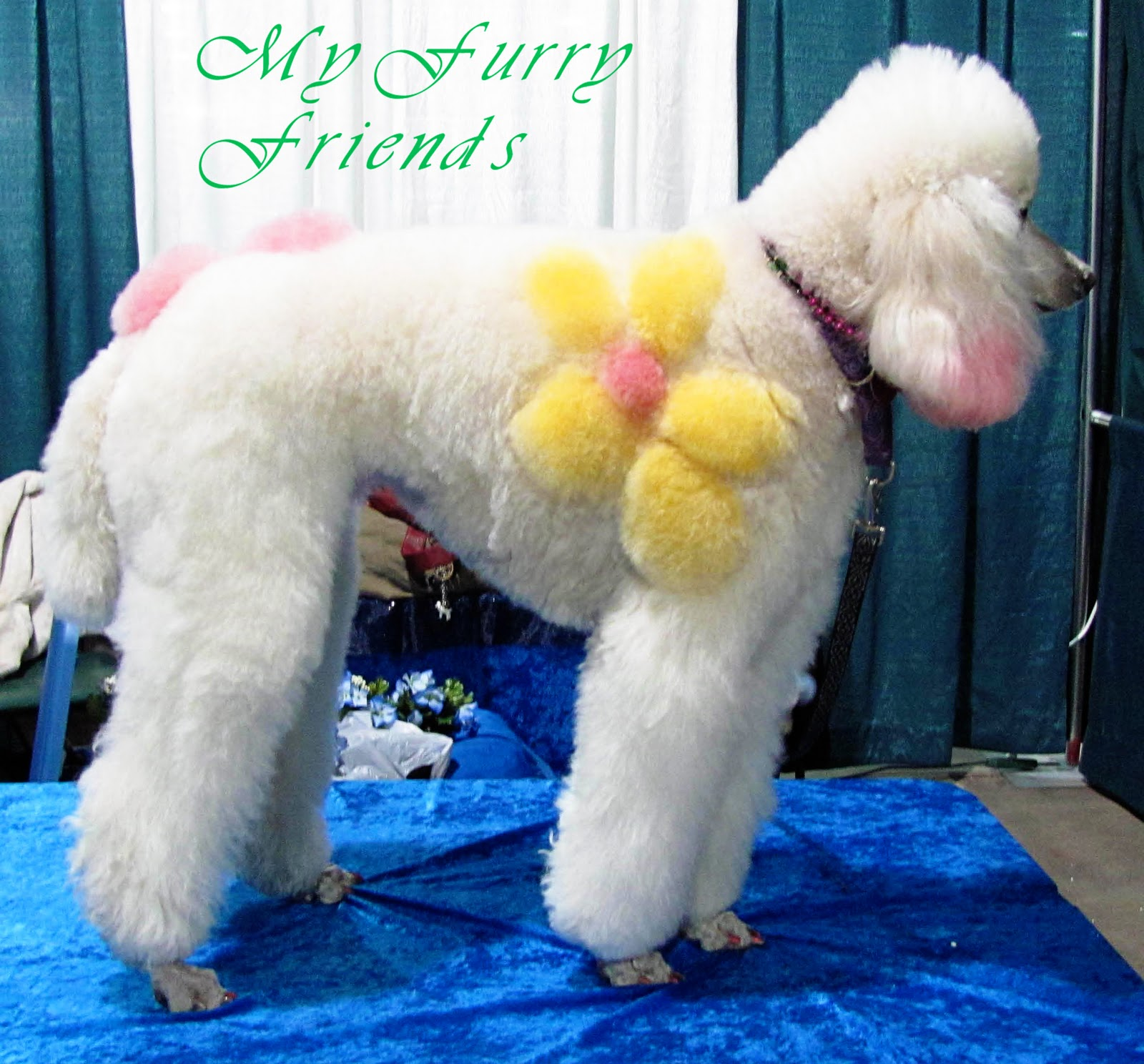 Standard poodle haircuts or of unless soft haircuts standard poodle - When Kipley S Owner Saw Hanna She Got All Excited And Wanted To Know If I Would Color Her Dog