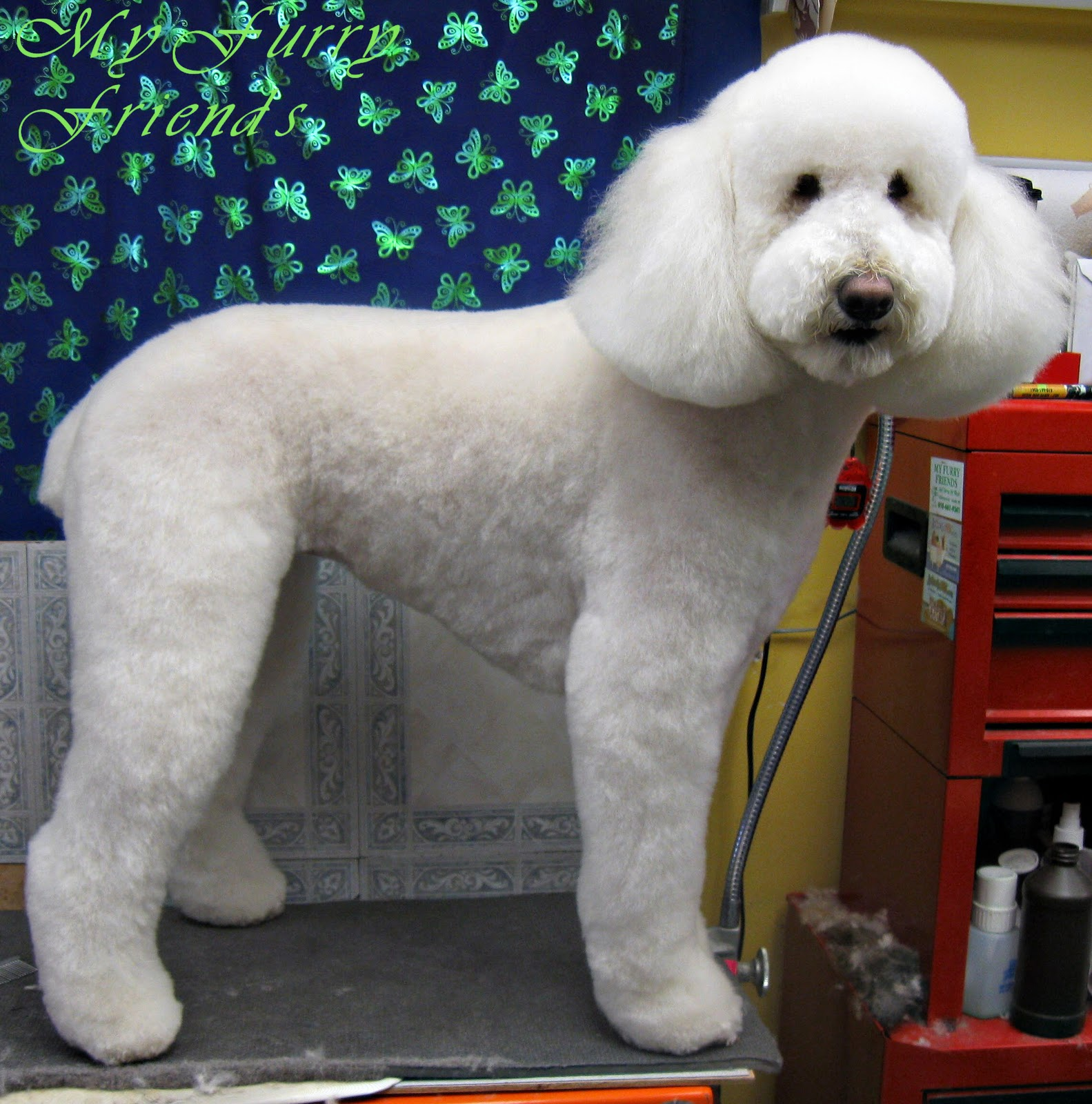 Standard poodle haircuts or of unless soft haircuts standard poodle - Labradoodle Sisters Both Could Pass For Standard Poodles