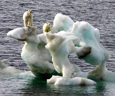 Ursi polari pe iceberg topindu-se
