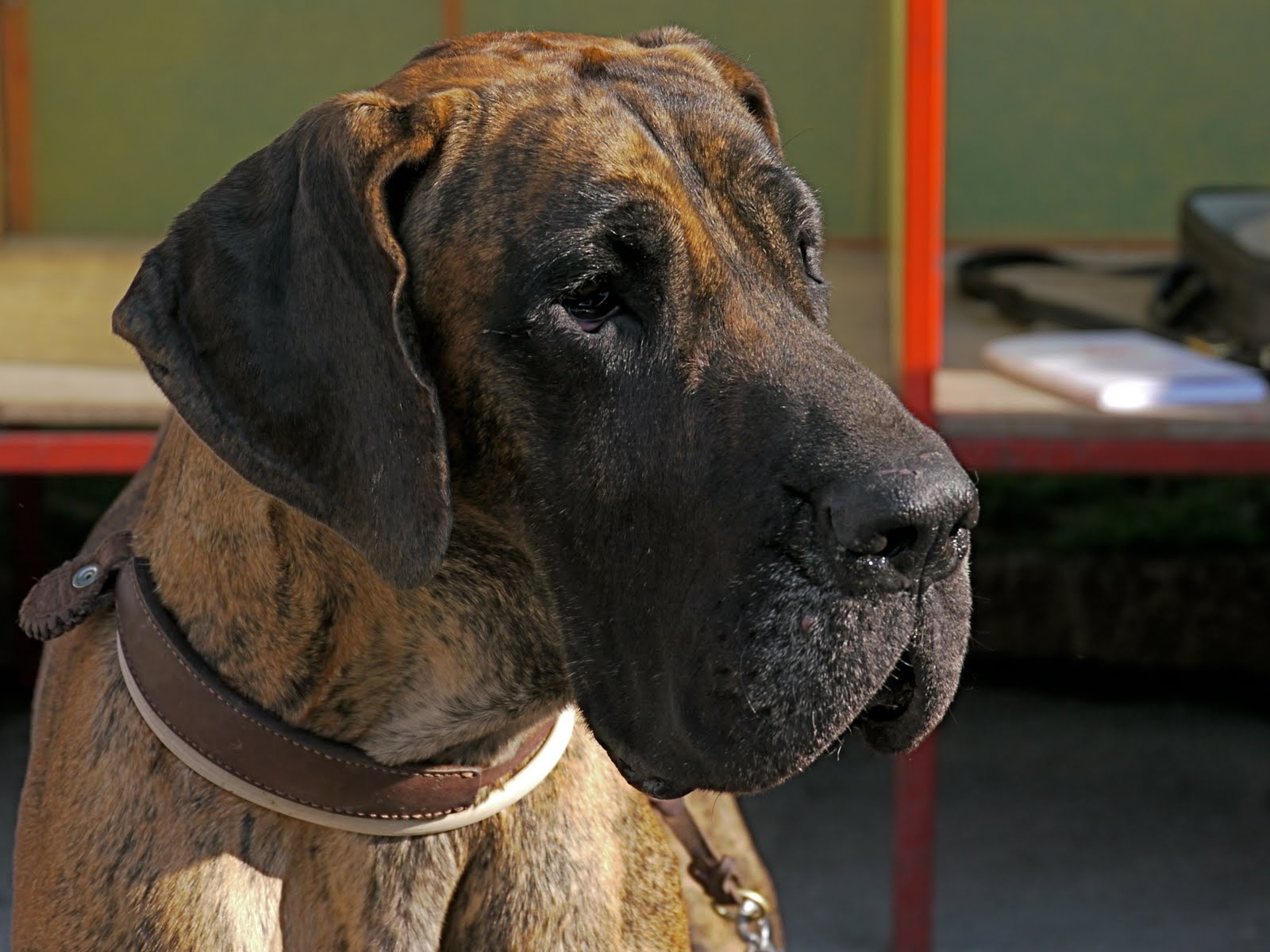 Newfoundland Great Dane Mix Puppies Magnificent great dane,