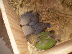 crias no ninho