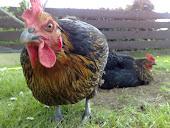 My Nice hen