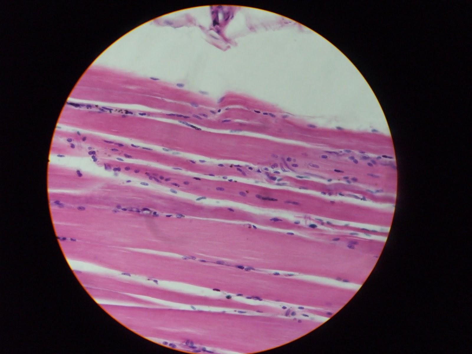 Histologia en Laboratorio: Tejido muscular
