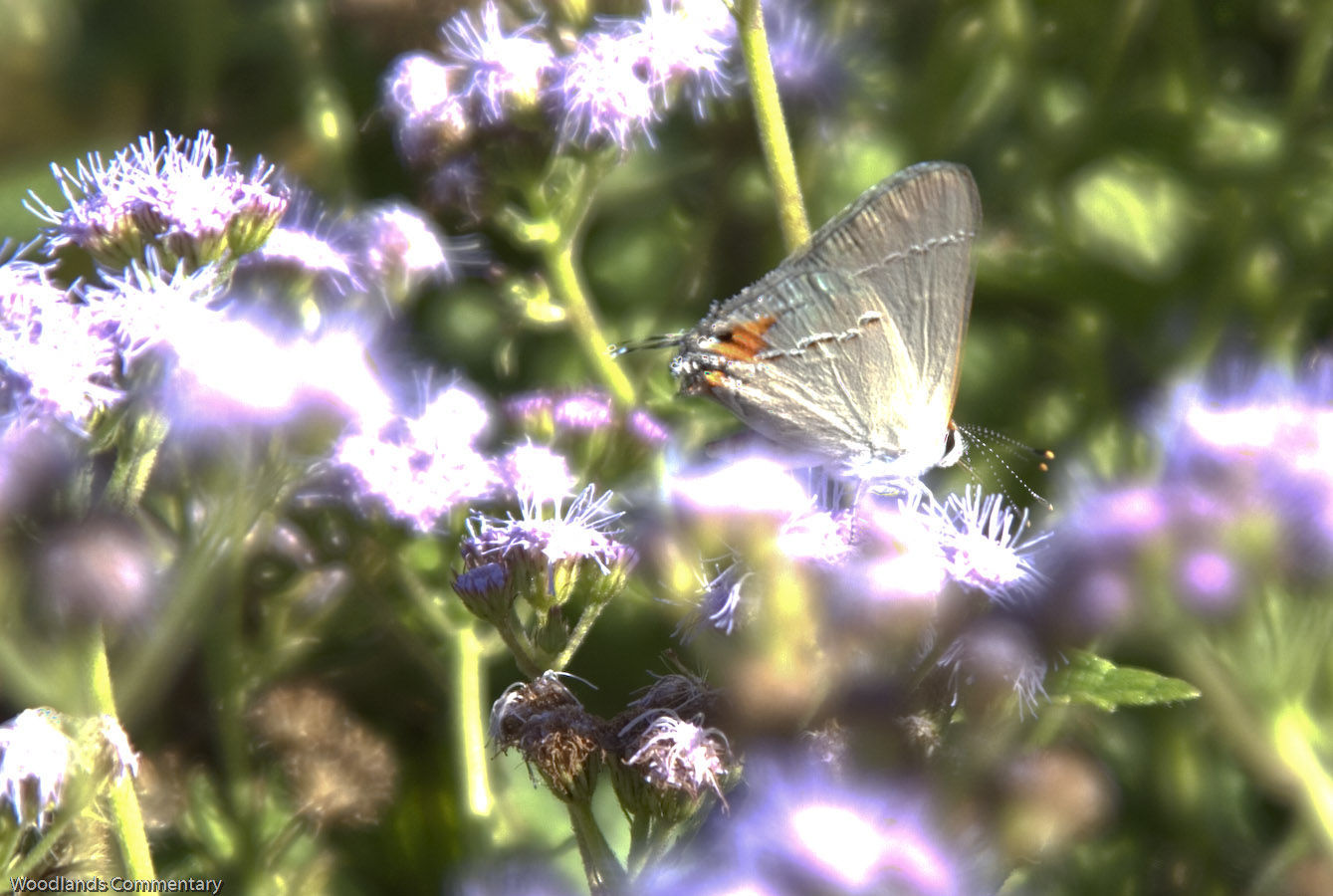 Montco%2BButterfly%2Bcount%2B2010 2 2 If you live in the northern part of Austin,Texas or even elsewhere,the ...