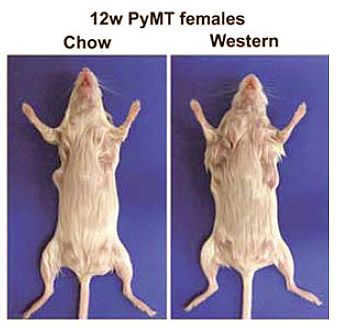 Mouse Mammary Tumor Virus in Human Breast Cancer
