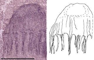 fóssil medusa, jellyfish