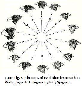 Tentilhões evolução finches