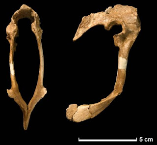 Hesperonychus elizabethae bacia - hip