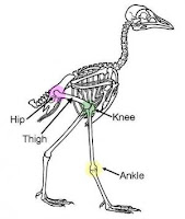 bird thigh, dinosaur