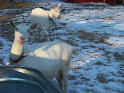 Bella and Joy, the Saanen Milk Goats