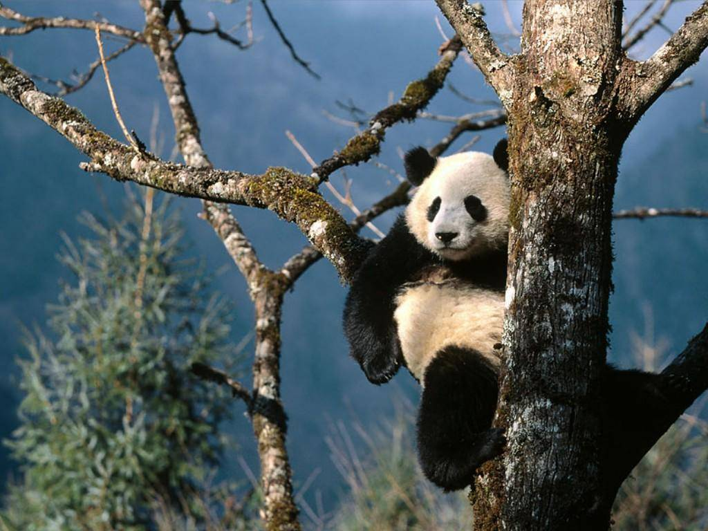 gambar hewan panda - gambar panda