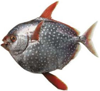 Opah, Two Ways (David Tanis-Inspired Crudo And Seared Fish) Recipes ...