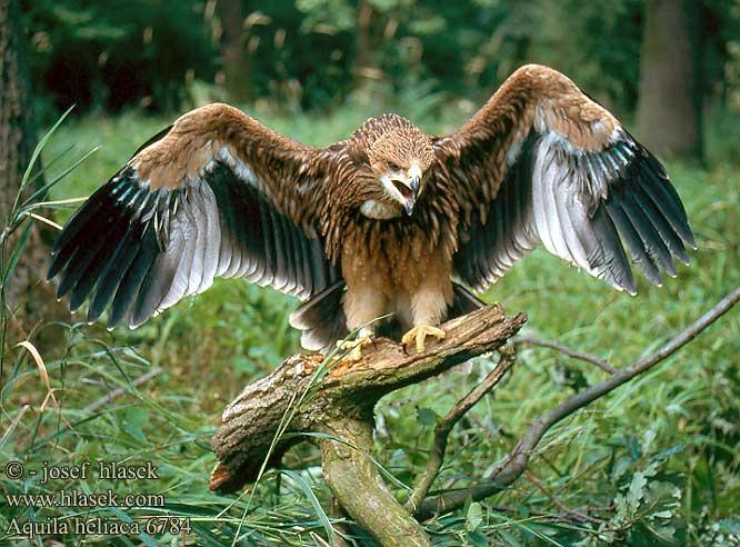 ¿Insignias de los clanes? Aguila+imperial