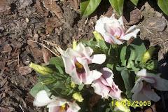 Eustoma różowa