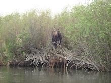 Saving Moose